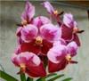 vanda orchids, species, kerala, india, online sale, Chavanand X trevor rathbond