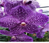 vanda orchids, species, kerala, india, online sale, v.gordon dillon X fuch delight