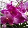 vanda orchids, species, kerala, india, online sale, V.S.M. delight