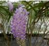 rhynchostylis orchids kerala, india, online sale,rhynchostylis.retusa