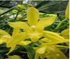 cymbidium orchids, kerala, india, online sale, Cymbidium Golden vanguard
