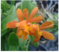 epidendrum orchids,  kerala, india, online sale, orange
