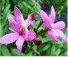 epidendrum orchids,  kerala, india, online sale, pink