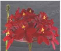 epidendrum orchids,  kerala, india, online sale, red dragon