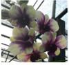 dendrobium orchids,  kerala, india, online sale, D.Anucha flare x burana green