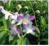 dendrobium orchids,  kerala, india, online sale, D.Aridang blue