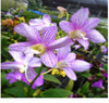 dendrobium orchids,  kerala, india, online sale, D.Aridang green x burana stripe