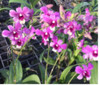 dendrobium orchids,  kerala, india, online sale, D.Bigbum x all season blue