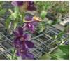 dendrobium orchids,  kerala, india, online sale, D.Bule foxtail x trudy brandt