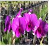 dendrobium orchids,  kerala, india, online sale, D.Burana racha x thai angel