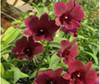 dendrobium orchids,  kerala, india, online sale,D.Burana sundae x blue violetta