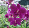 dendrobium orchids,  kerala, india, online sale, D.Charack red