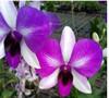 dendrobium orchids,  kerala, india, online sale,D.Ekapol x pale face