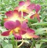 dendrobium orchids,  kerala, india, online sale,D.Morning sun