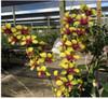 dendrobium orchids,  kerala, india, online sale, D.Suriya gold