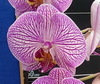 phalaenopsis orchids, thrissur,kerala, india, online sale, Dtps. pingtung honey x younghome angel