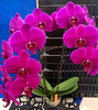 phalaenopsis orchids, thrissur,kerala, india, online sale, Phal. Lianher Super Red