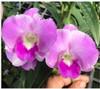 Dendrobium orchids, klairvoyant orchids, guruvayoor, thrissur, kerala, india, orchids, chothip