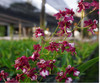 oncidium orchids, klairvoyant orchids, guruvayoor, thrissur, kerala, india, orchids, Fragrance 'Ong Khot'