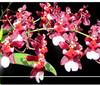 oncidium orchids, klairvoyant orchids, guruvayoor, thrissur, kerala, india, orchids, onc. Fragrance 'Mon-Tho