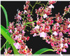 oncidium orchids, klairvoyant orchids, guruvayoor, thrissur, kerala, india, orchids, Onc. Fragrance pra lak