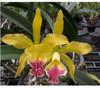 cattleya orchids, thrissur, kerala, india,online sale, Mem helen ben little sta