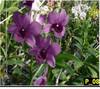 Dendrobium orchids, klairvoyant orchids, guruvayoor, thrissur, kerala, india, orchids, Blue Berry