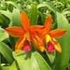 Catt Netrasiri-starbright-orange