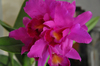 cattleya orchids, thrissur, kerala, india,online sale, cattleya   Penang `Black Caesar'