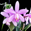 cattleya orchids, thrissur, kerala, india,online sale, cattleya jairak doll
