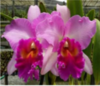 cattleya orchids, thrissur, kerala, india,online sale, Pink Diamond