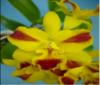 cattleya orchids, thrissur, kerala, india,online sale, cattleya  Pot.Burana Beauty