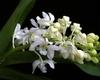 rhynchostylis orchid, kerala, india