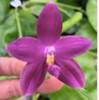 phalaenopsis orchids, thrissur,kerala, india, online sale, Phal. speciosa x Phal. violacea