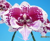 phalaenopsis orchids, thrissur,kerala, india, online sale, orchid sale