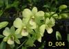 blooming size plants Dendrobium orchids, klairvoyant orchids, thrissur, kerala, online sale, buy orchids