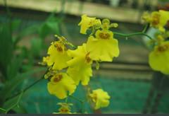 blooming size plants Oncidium orchids, klairvoyant orchids, thrissur, kerala, online sale, buy orchids