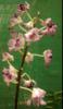 Dendrobium orchids, kerala, india, online sale