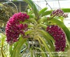 rhynchostylis orchids, klairvoyant orchids, guruvayoor, thrissur, kerala, india