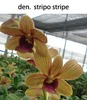 Dendrobium-stripho-stripe, orchids, guruvayoor, thrissur, kerala