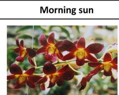 Dendrobium morning sun , orchids, guruvayoor , thrissur , kerala