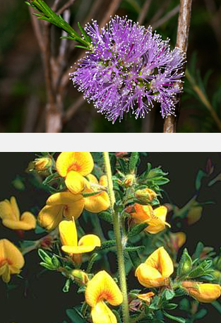 Native Australian flowers