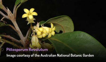 Wild Yellow Jasmine