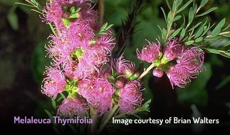 Thyme Honey Myrtle