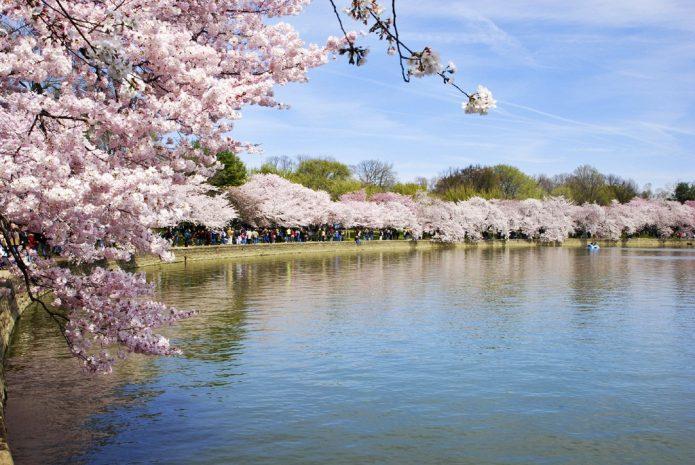 national-cherry-blossom-festival-package
