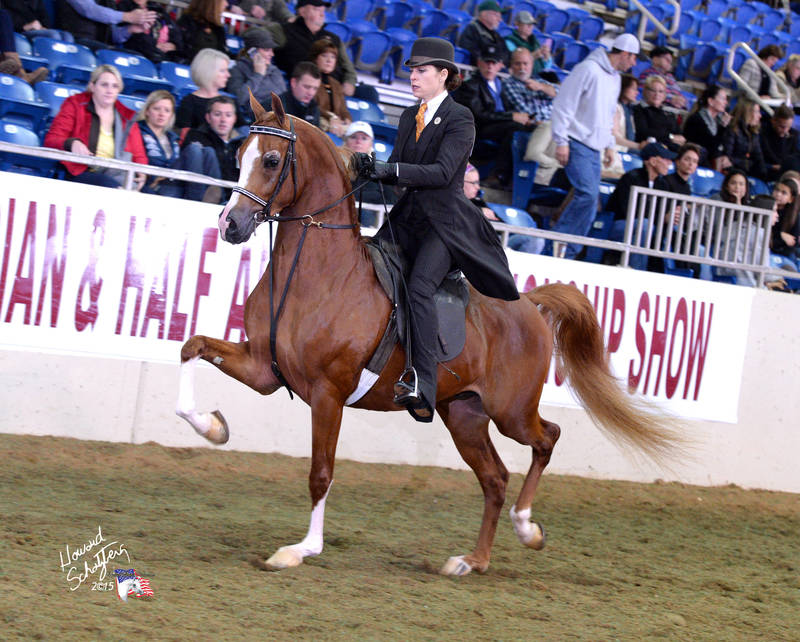 Noble Ransom ~ 2015 US National Top Ten Arabian English Pleasure Futurity at his FIRST show!