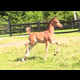 2017 bay colt (Afires Heir x Foxy Afire)