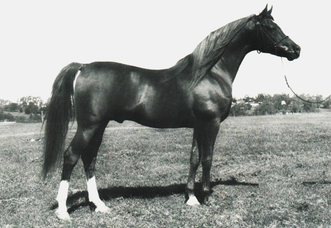 A Brief History Of The Arabian Horse In Australia Arabian Horse Society Australia