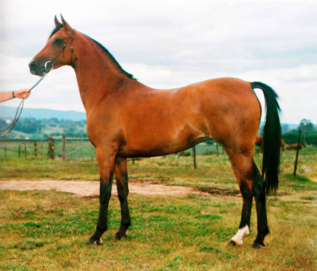 A brief history of the arabian horse in australia arabian horse society australia - Arabian horse pictures ...