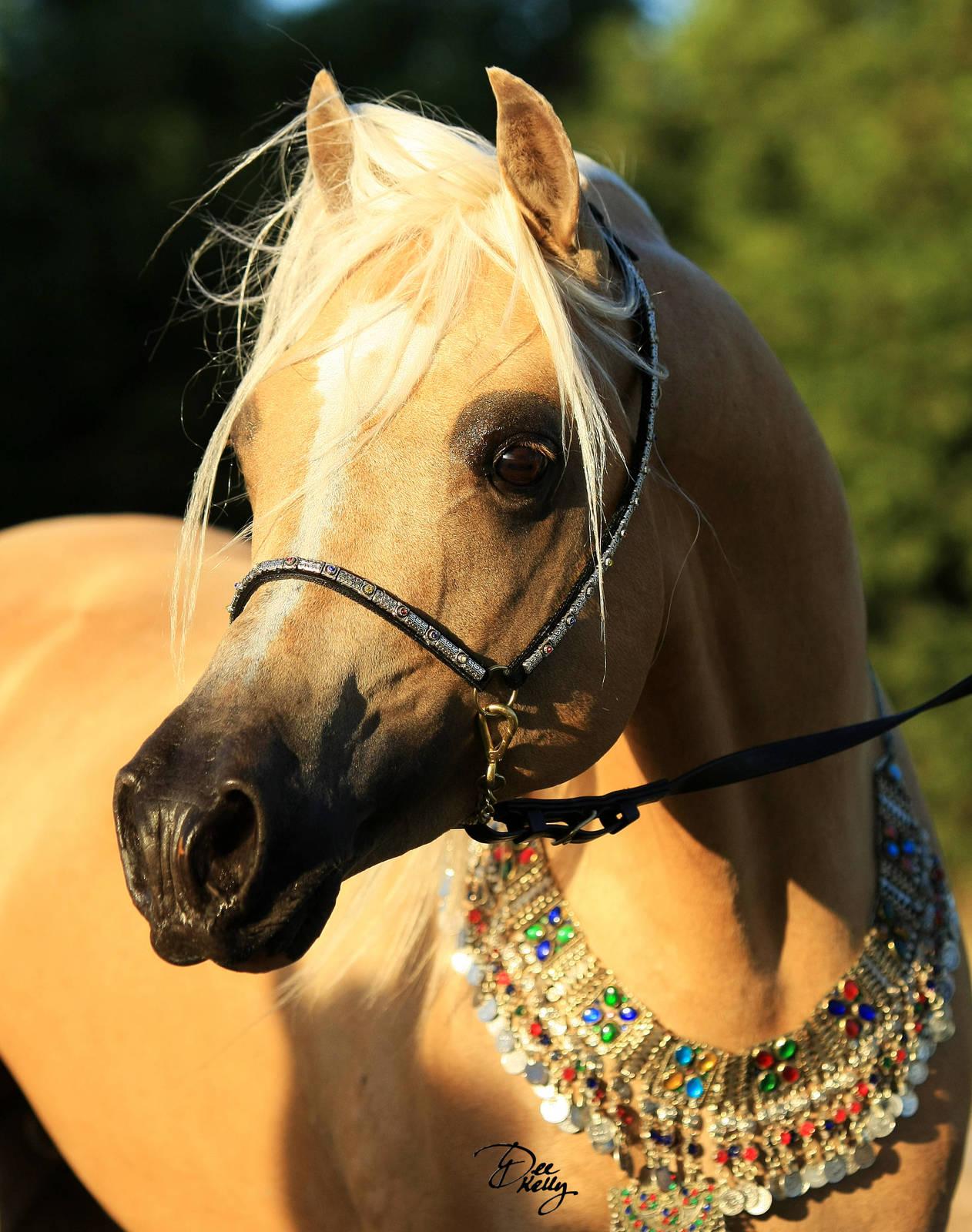 The Arabian Derivative Horse :: Arabian Horse Society ...